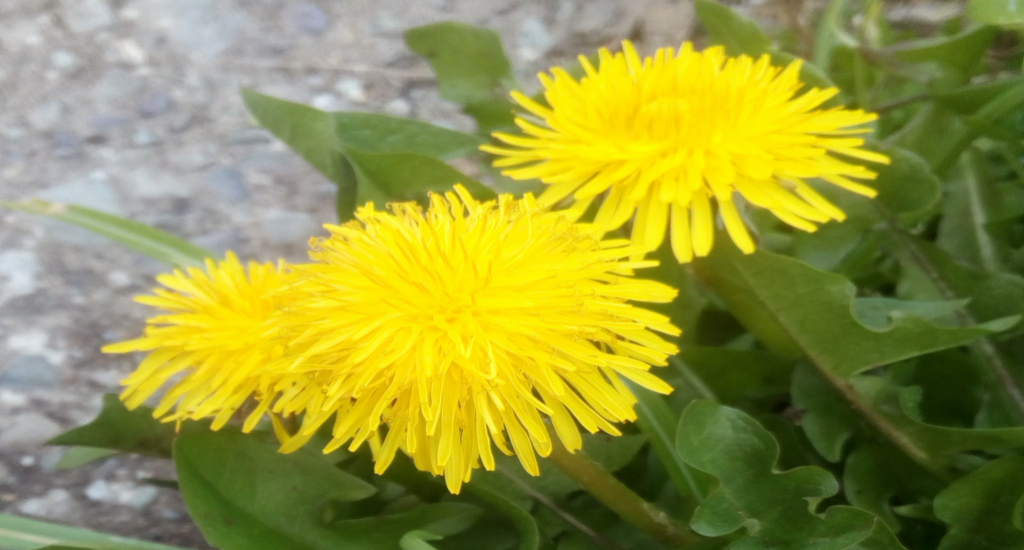 Dandelion- one of the most useful herbs!